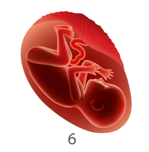 fetal development 6 months