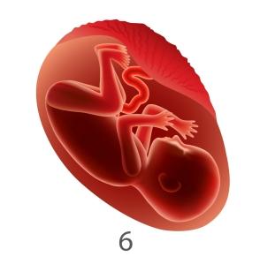 fetal development 6 months