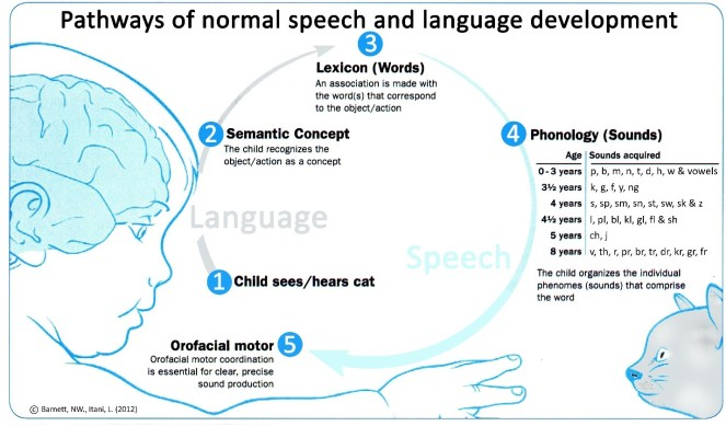 Diagram of the pathways for normal speech and language