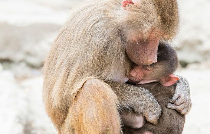 Baboon hugging baby baboon