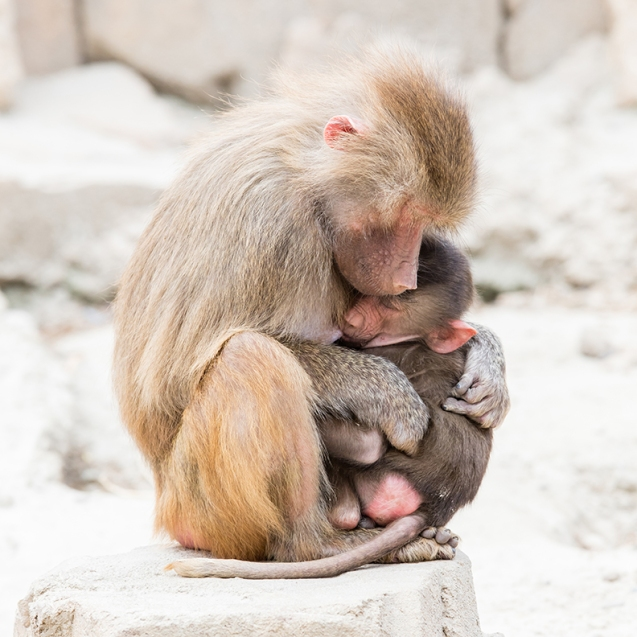 Baboon mother and holding her little one